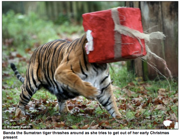 http://www.mailonsunday.co.uk/news/article-2072723/Puss-box-Tiger-gets-tangle-early-Christmas-present.html